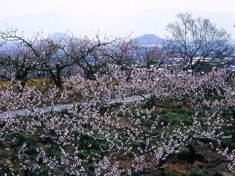山の辺の道 桃