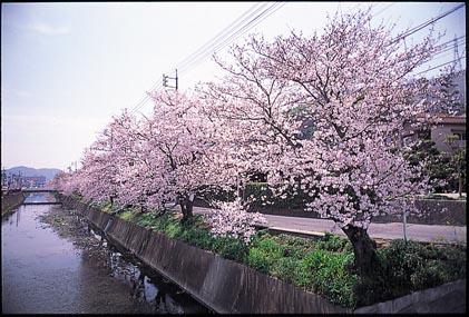 栗原川沿いの桜並木