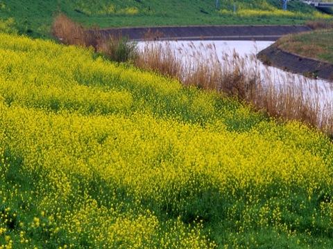 大和川 菜の花