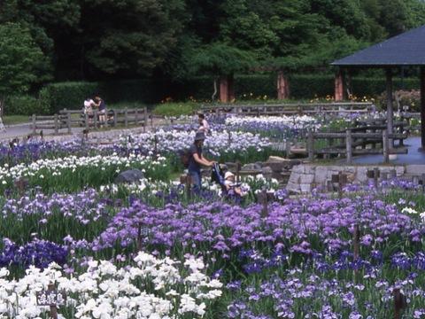 馬見丘陵公園 菖蒲
