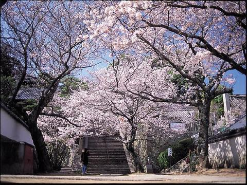 西國寺の桜のトンネル