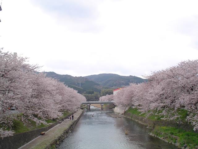 厚狭川河川桜並木