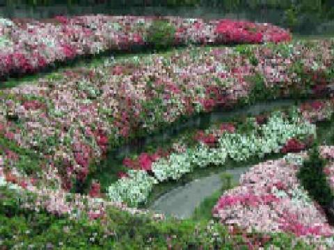 A azalea path