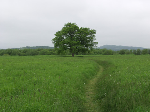 Harunire Elm trees