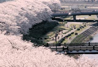 福井市の誇り…桜のトンネル