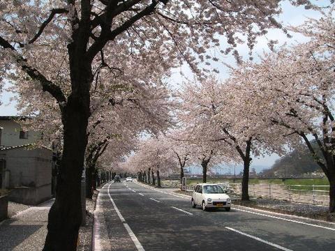 馬見ヶ崎桜ライン