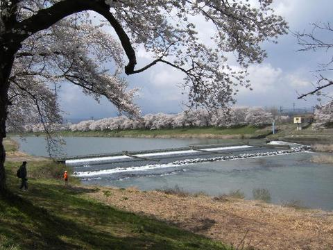 1,000 cherry trees at a glance