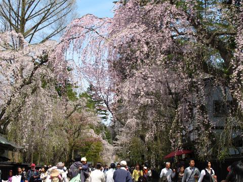 武家屋敷通り 桜