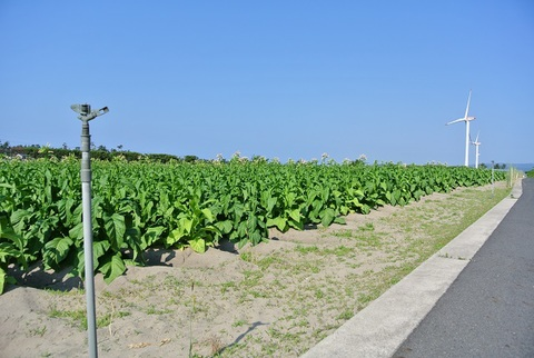 北栄砂丘・葉たばこ畑