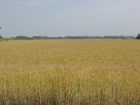 金色の小麦畑